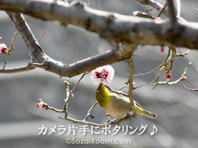 梅の蜜をついばむメジロ