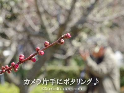 梅のつぼみとカメラマン