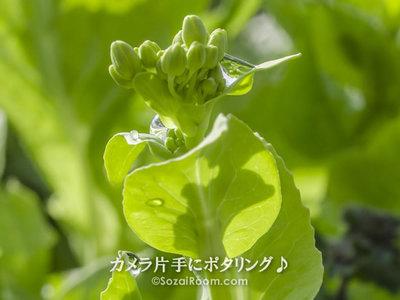 雨上がりの菜の花