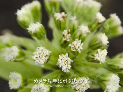 ふきのとうの花