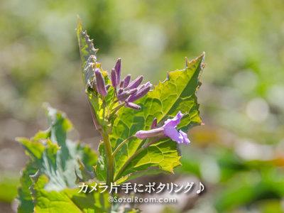 花大根の花