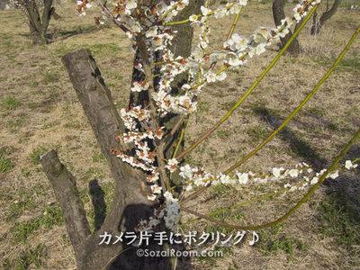 老梅から咲いた梅の花