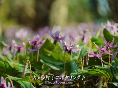斜面に咲くカタクリの花