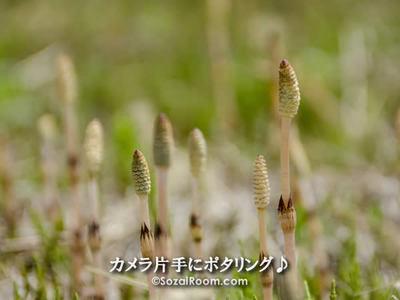 河原に咲くつくしんぼ
