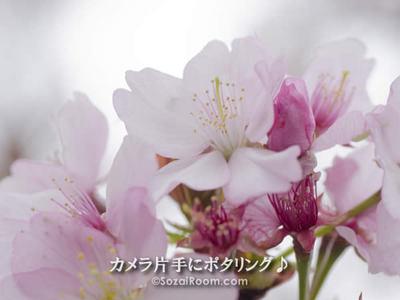 桜の花 終盤