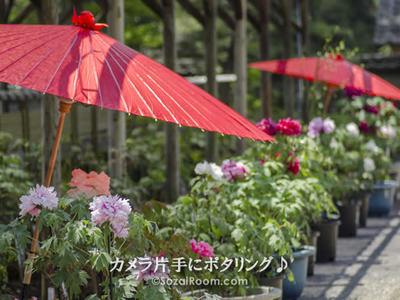 町田ぼたん園のぼたんの花