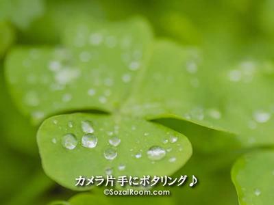 クローバーの葉っぱの上の滴