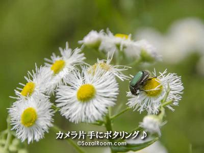 ヒメジョオンの蜜を吸うコガネムシ