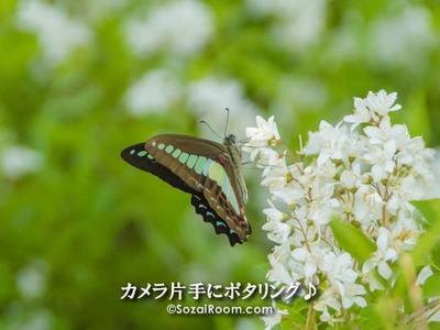 姫空木の蜜を吸うアオスジアゲハ