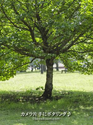 相模原公園の木立