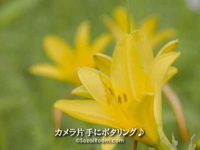 箱根湿生花園のニッコウキスゲ