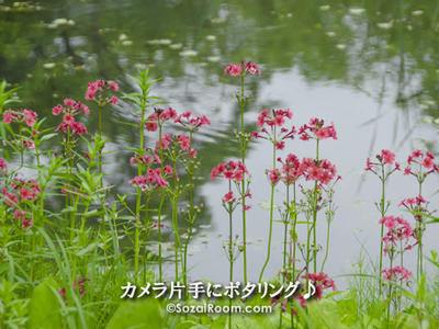 九輪草(クリンソウ)
